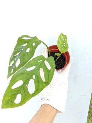 House Plant: Monstera / Swiss Cheese Plant