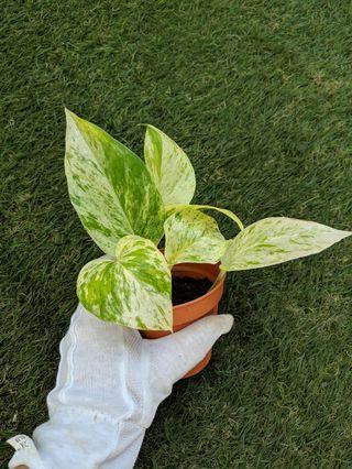 House Plant: Money Plant