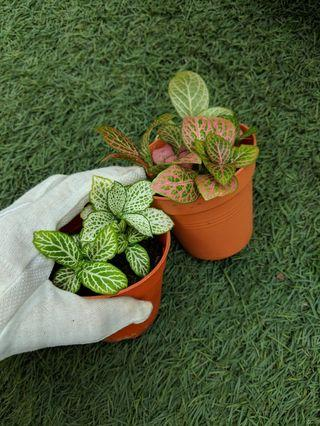 House Plant: Red / Green Fittonia
