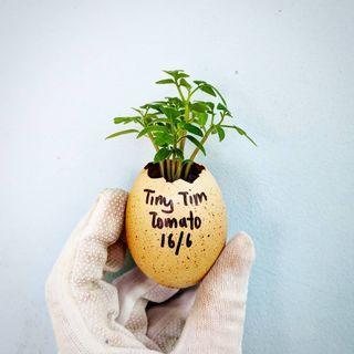 Seedling: Tiny Tim Cherry Tomato Dwarf Plant