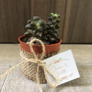 🚚 Assorted potted succulents - Wedding favours / corporate gifts