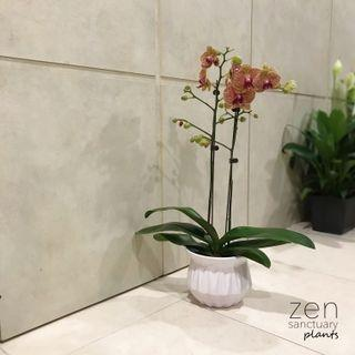 Phalaenopsis Aphrodite Orchid