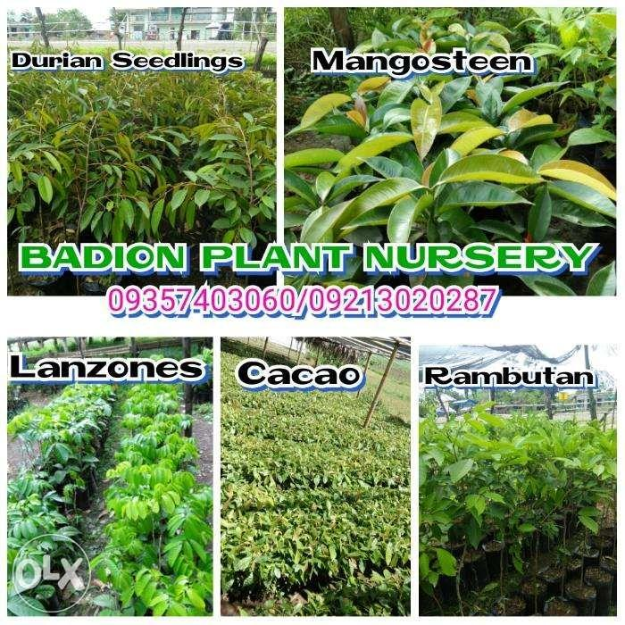 Mangosteen seedlings, Home & Furniture, Home Tools and