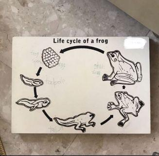 🚚 Puzzle: Life cycle of a frog