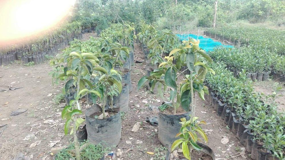 Mangosteen Plant for sale on Carousell