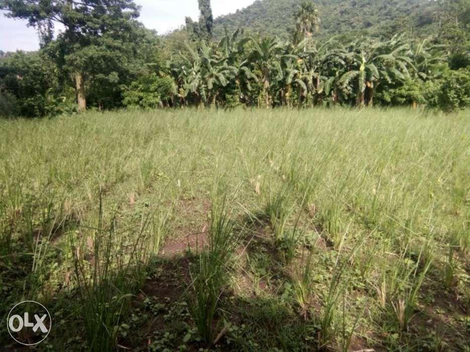 vetiver grass for soil erosion control on Carousell
