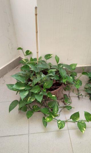 Plant 30cm pot size