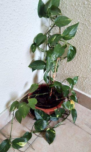 Plant 18cm pot size