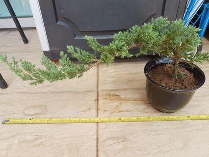 Juniper pearl cypress 珍珠柏 Bonsai plant