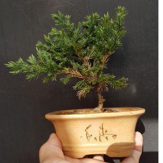 Small Juniper pearl cypress Bonsai  珍珠柏盆栽