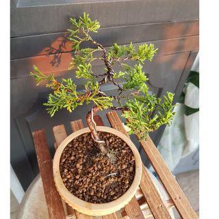 Juniper Bonsai Plant 槙栢盆景