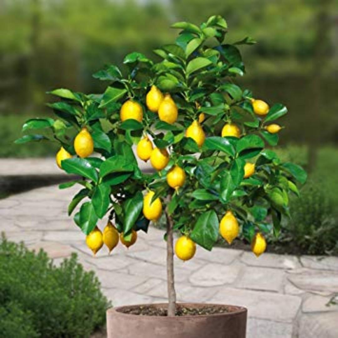 Lemon tree yellow baby. Will grow up into a lovely tree.