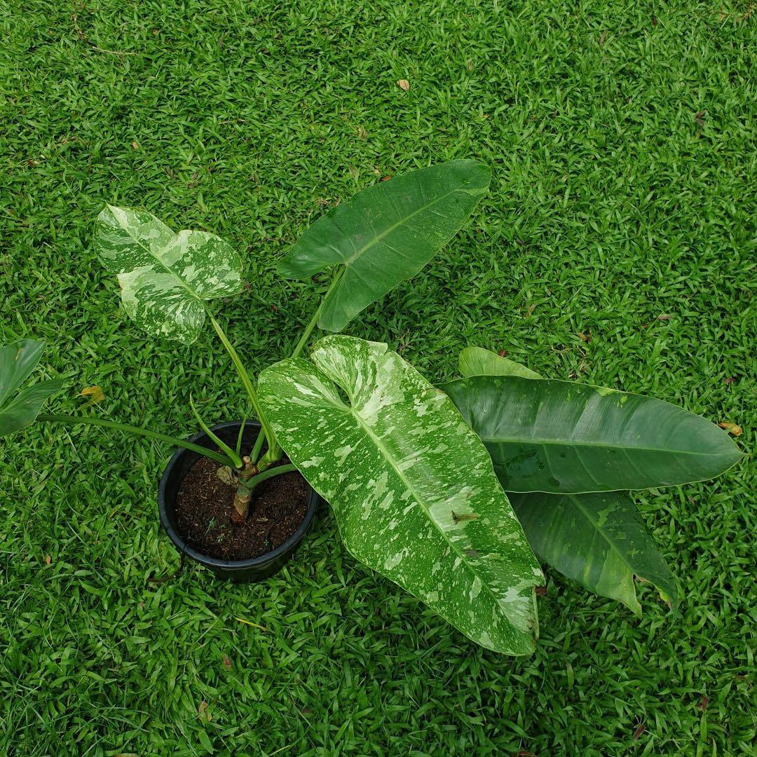 Philodendron Jose bouno