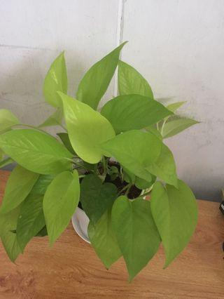 Potted golden Money Plants