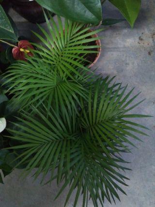 Java palm
