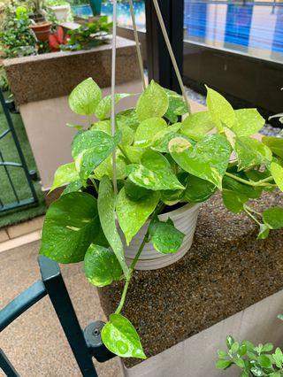 Money Plant in hanging pot