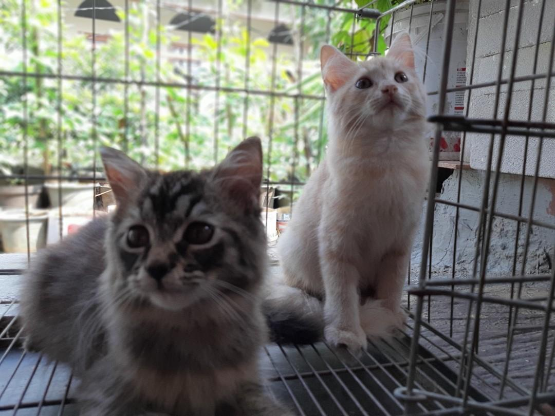 Anak Kucing Persia Medium
