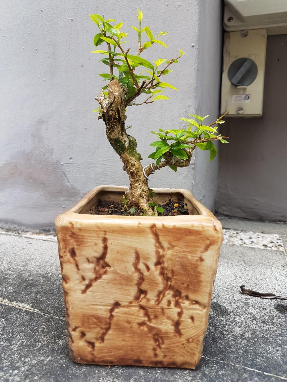 Bonsai - Water Jasmine Shuimei 水梅盆栽