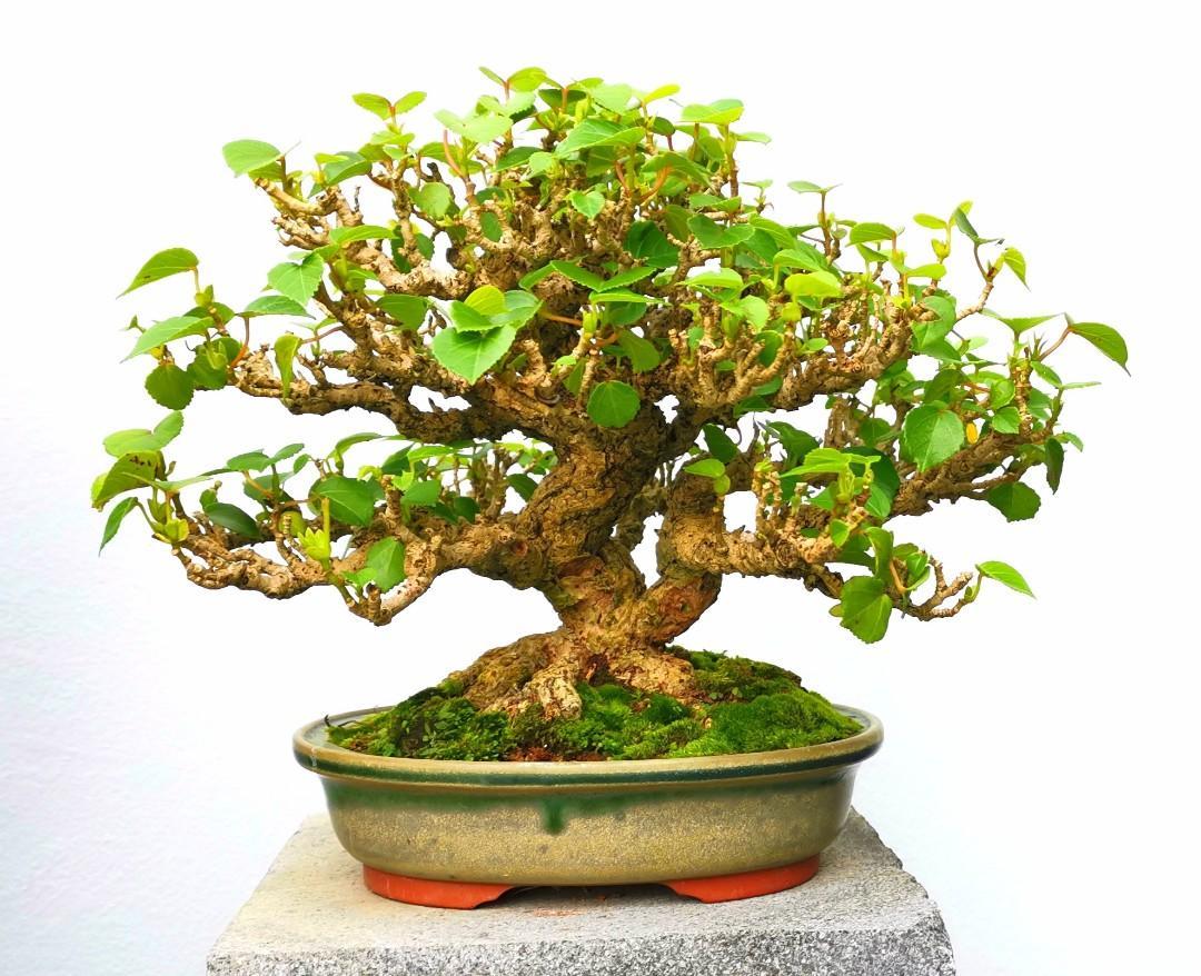 Hibiscus Bonsai Tree For Sale Bonsai Tree