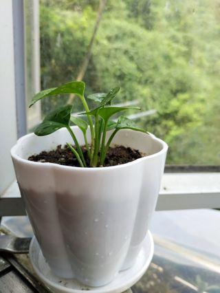 空氣淨化植物 迷你綠蘿 黃金葛 極簡主義 療癒系 Purifier Plant Simplicity Plant