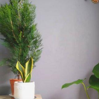 Pine tree (krismas)