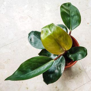 """""""Blushing"""" Philodendron Imperial Red"""