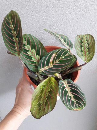 Prayer Plant (Maranta) Plant