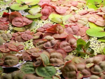 Red root aquatic floaters
