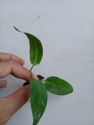 Anthurium warocqueanum rooted cutting