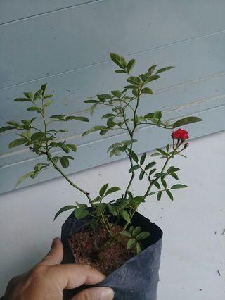 Mini Rose RED