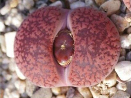 """lithops Aucampiae """"Ruby"""" seeds 20pc"""