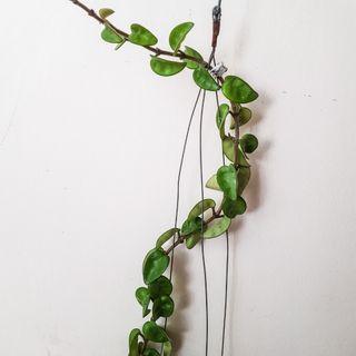 "Hoya Compacta ""Hindu Rope"" with Peduncle"