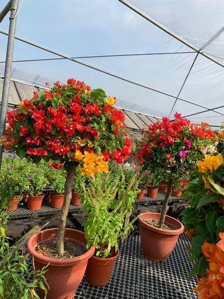 🚚 5 pots of grafted bougainvilla 60cm