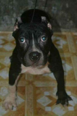 American Bully - View all American Bully ads in Carousell