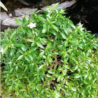 Common Jasmine Plant