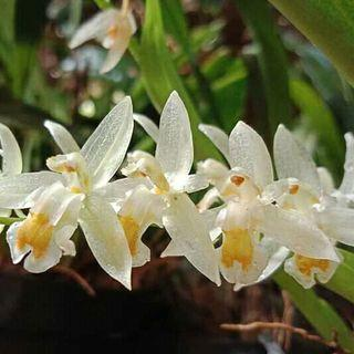🚚 Chelonistele sulphurea orchid