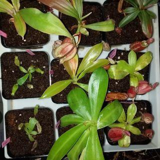 Many different lowland beginner Nepenthes pitcher plants (Monkey Cup) for sale