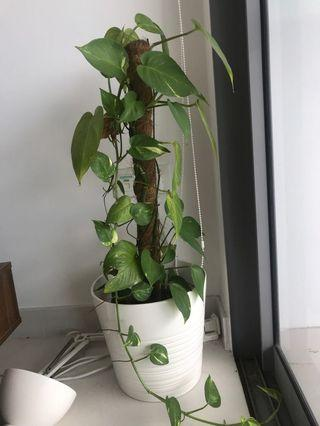 Plant with white pot