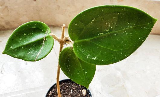 """Hoya Macrophylla """"Splash"""" Cutting"""