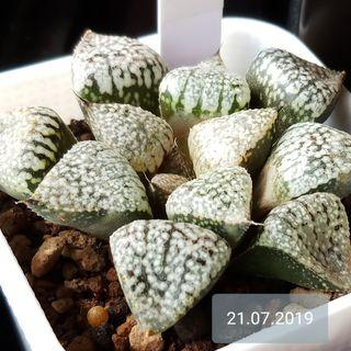 Haworthia Picta JAPAN GENUINE IMPORTED SUCCULENT ( FAST CLEARANCE PRICE AT $78 ) PLANT SIZE 7cm Wide, Seed Grown. Non Tissue Culture (1 and Only Pot)