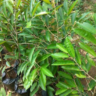 Bibit durian namlung