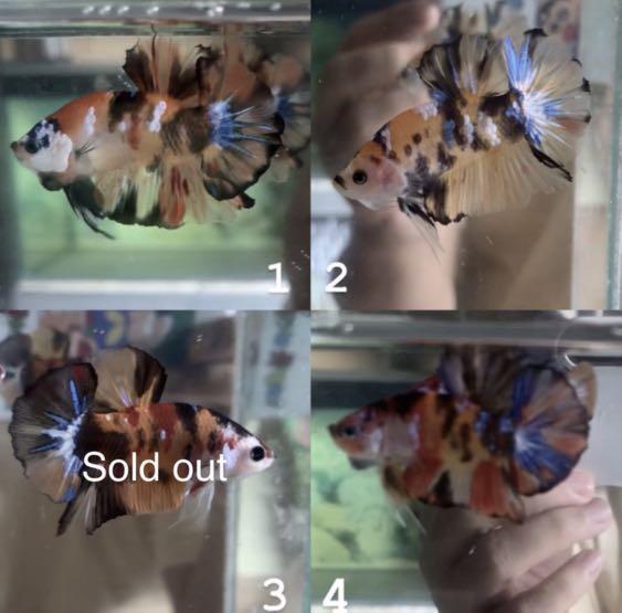 Cupang Plakat Nemo Galaxy Candy 3 Perlengkapan Hewan Aksesoris Hewan Di Carousell