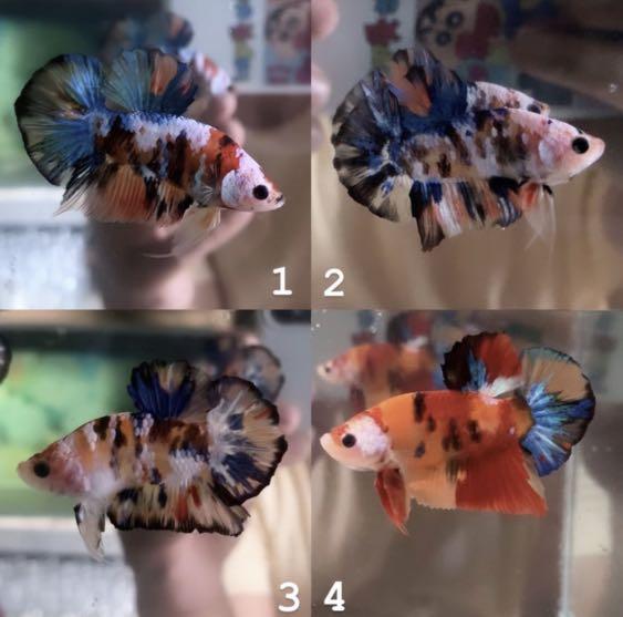 Cupang Plakat Nemo Galaxy Candy 4 Perlengkapan Hewan Aksesoris Hewan Di Carousell