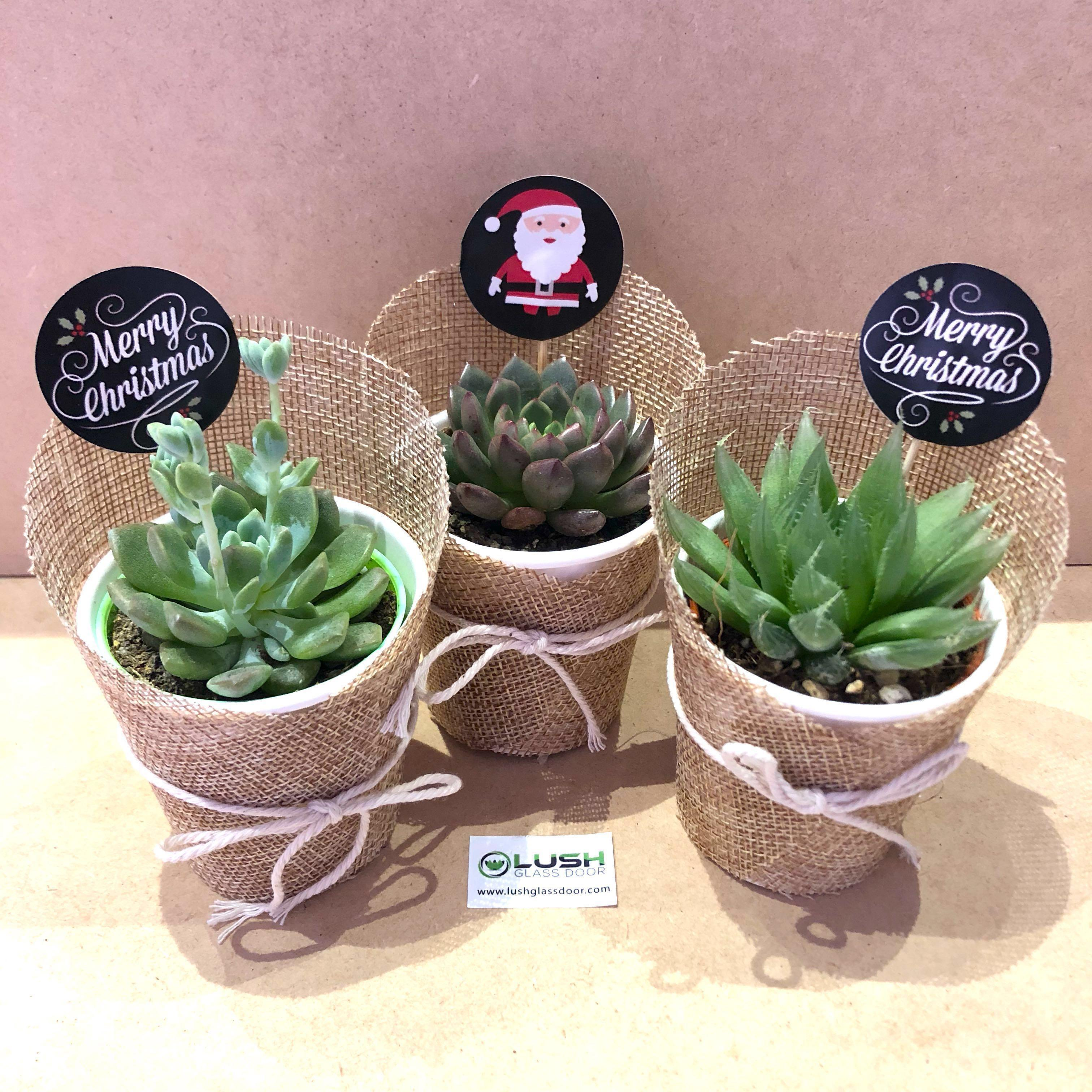 Christmas Succulent Gift.Excellent Gift For All Teacher S Day Events Corporate