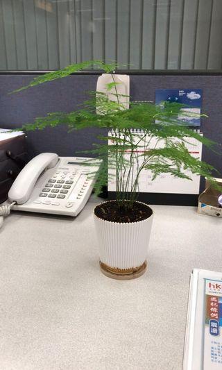 文竹植物 旺財 轉運