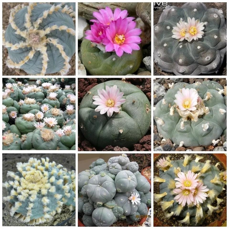 20 pcs Lophophora mixed, cactus succulent plants bonsai plant for home garden free shipping