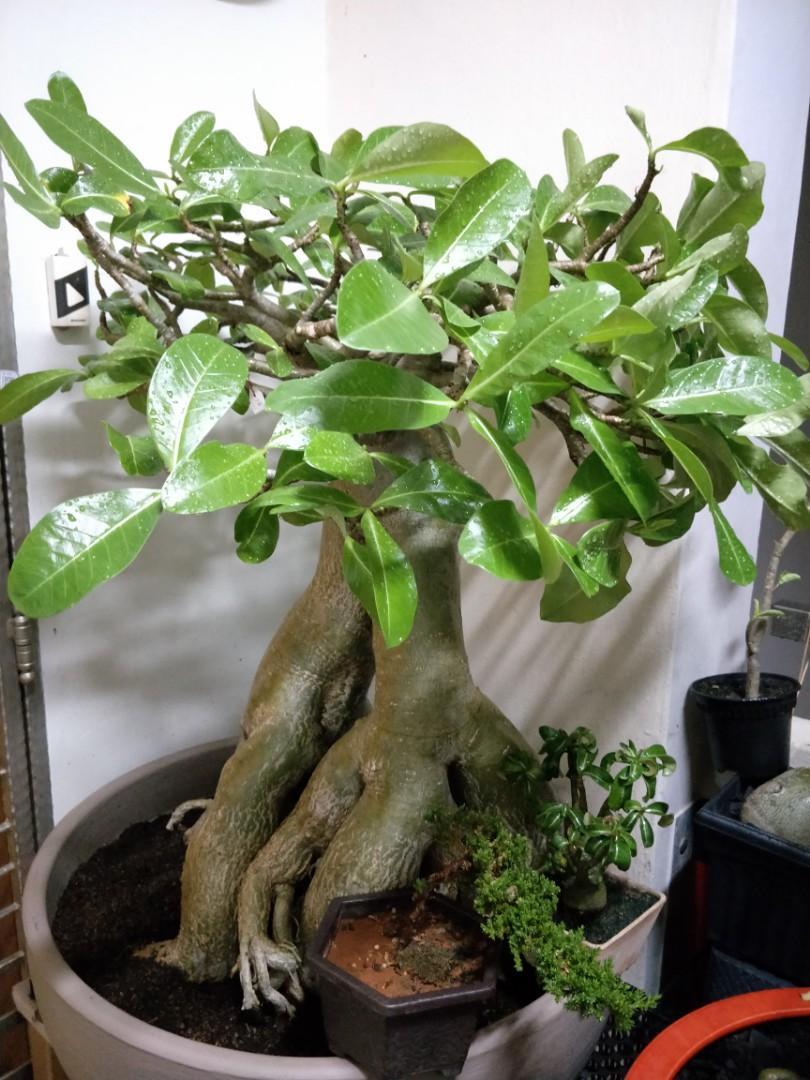 Extremely exquisite root trained origin Socrotranum