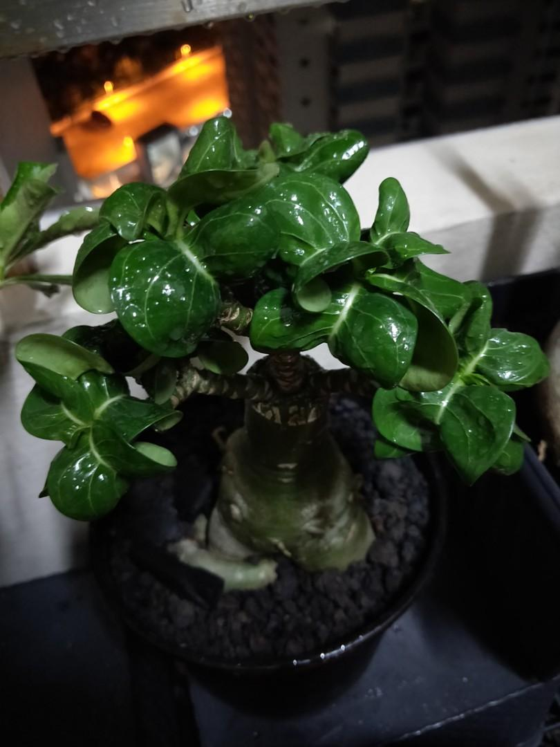Taiwan Mini curly leaves plant with pot for sale