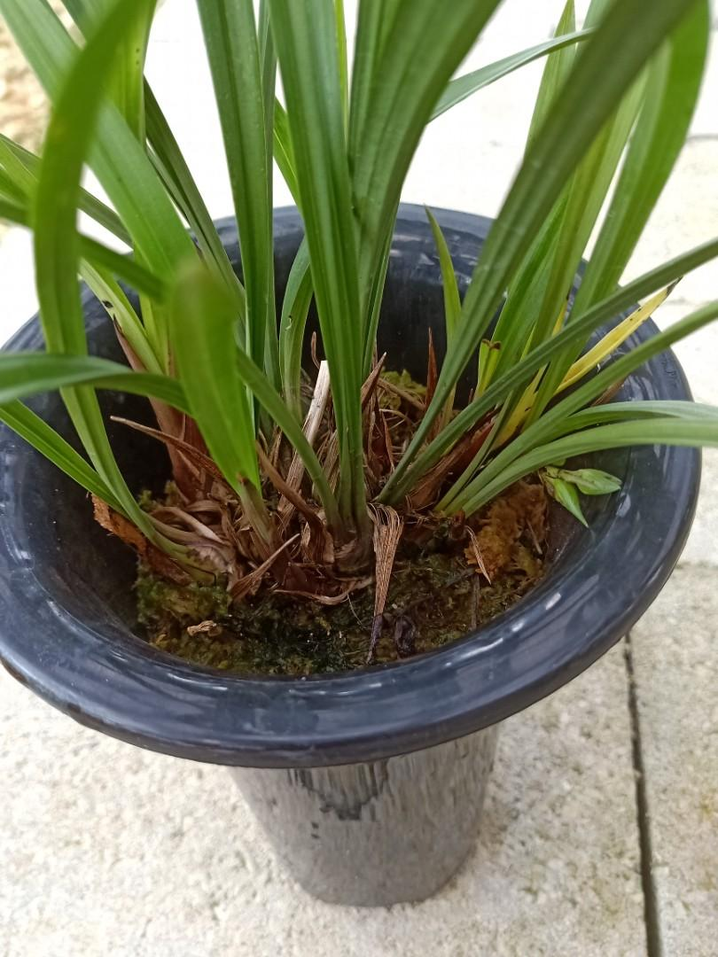 (spiking big plant) Cymbidium ensifolium mutated 梨山狮王