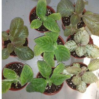 Episcia Lemon Zest, Jim's Canadian Sunset and Blue Heaven